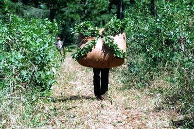 La récolte du Yerba Maté
