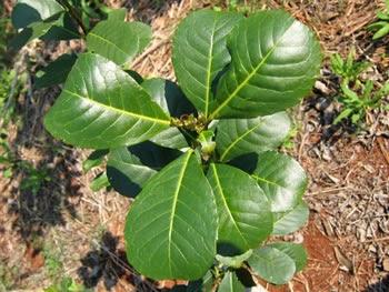 Plante de Yerba Maté